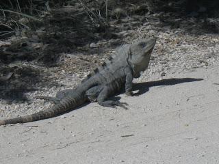 iguana, Yucatan, nomad, nomadic