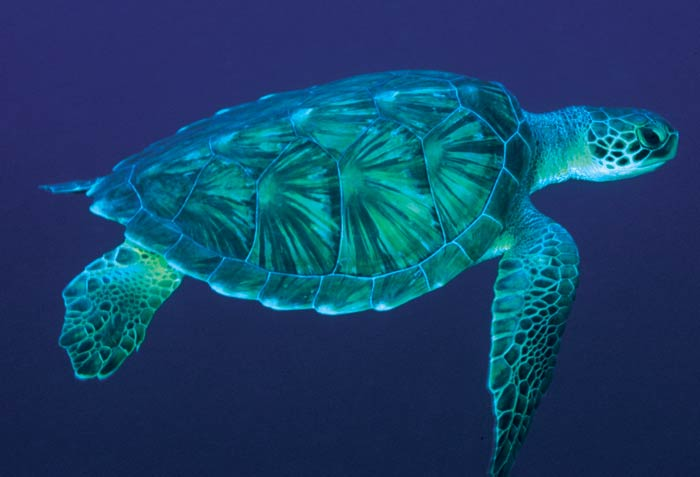 sea turtle, tortuga