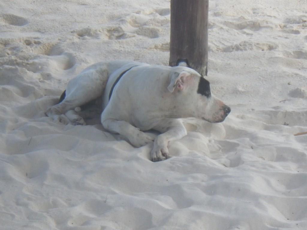 sand dog, beach, Yucatan, Riviera Maya